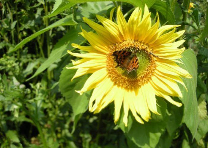 Hyvää kesää! Auringonkukka ja pörriäinen, kuva: Anne Sankari