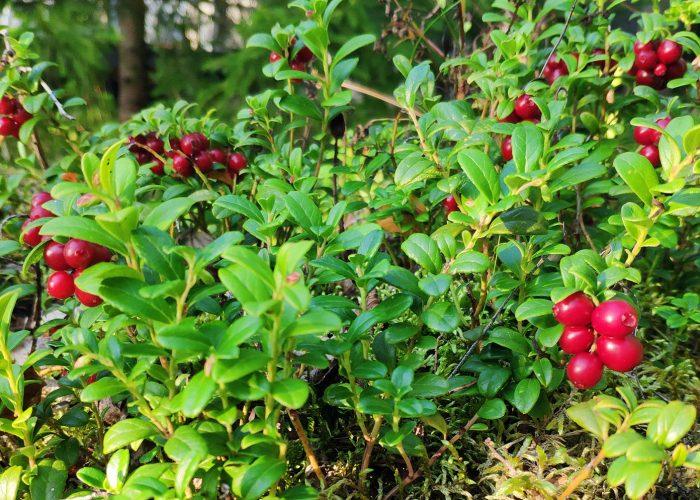 Puolukka Lingonberry