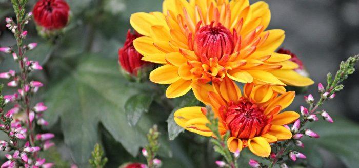 Yellow chrysanthemums.
