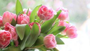 Tulppaaneja/Tulips
