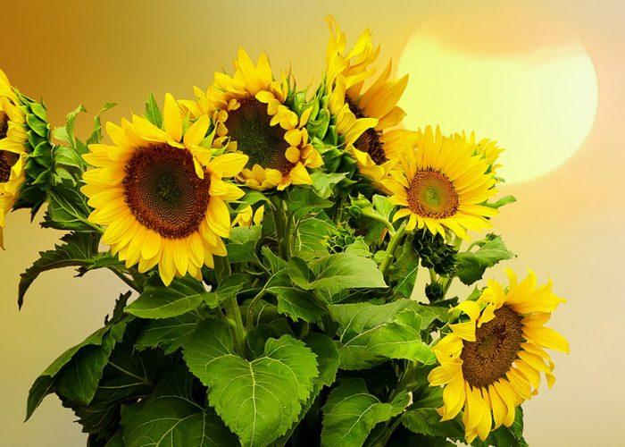 Auringonkukkia/Sunflowers